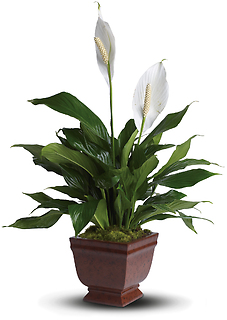 Lovely One Spathiphyllum Plant